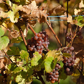 vendange tardive... by Pierre Husson - Nature Up Close Gardens & Produce ( vineyard, warm, grapes, autumn colors, close up, fall, color, colorful, nature )