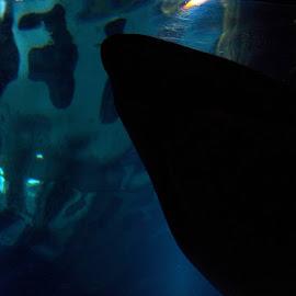 Shark shadow by Kathryn Nagelberg - Animals Sea Creatures ( shark,  )