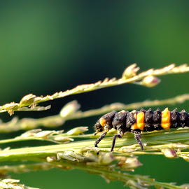 Black & Yellow by Mursalat Mustaring - Novices Only Macro ( sorowako, macro, insect, photooftheday,  )