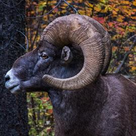 Battered Bighorn by Leon Kauffman - Animals Other Mammals ( highway 200, ram, bighorn sheep, montana, wildlife, bighorn )
