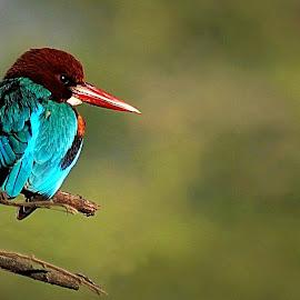 Kingfisher  by Prasanna Bhat - Animals Birds