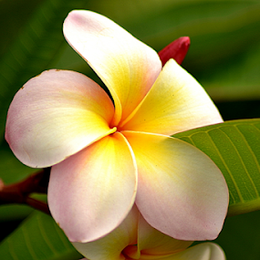 Pink Frangipani 72 by Mark Zouroudis - Flowers Single Flower