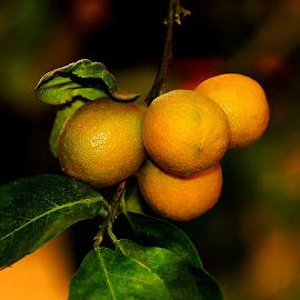 Lemon Tree  by Azher Saleh - Nature Up Close Trees & Bushes