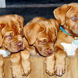 by Char Hayward - Animals - Dogs Puppies