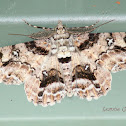 Geometrid Moth (Male)