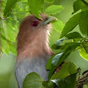 Tingazú (Squirrel cuckoo)