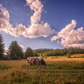 Lost cow by Stanislav Horacek - Landscapes Prairies, Meadows & Fields