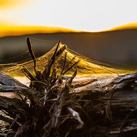 by Ralf Harimau Weinand - Nature Up Close Webs ( gangolf, deutschland, felder, cobwe, mettlach, 2014, spinnennetz, saarland, sonnenuntergang, cobweb, sunset, germany, saarschleife, fields )