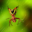 Arrow-shaped micrathena spider