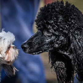 Nose to Nose by Ron Meyers - Animals - Dogs Portraits
