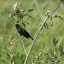 Red-winged Blackhird