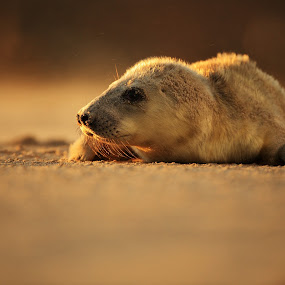 Grey seal by Jiří Míchal - Animals Other Mammals ( halichoerus grypus, seal, helgoland, grey seal, sunset, dune, germany )