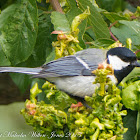 Pied Great Tit; Carbonero Común Blanco