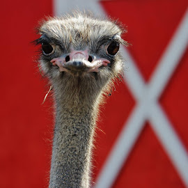 watch out for the guard ostrich  by Melissa Shropshire - Animals Other