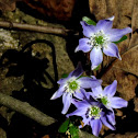 Sharp - Lobed Hepatica