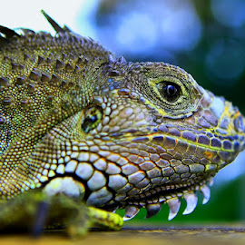 by Fammz Fammudin - Animals Reptiles ( reptile, head, photo, photography, animal,  )