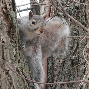 Squirrel  by Suann Vandewalker - Animals Other