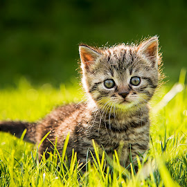 Hey Mom? by Bernhard Klestil - Animals - Cats Kittens ( cat baby nikon klestil austria )