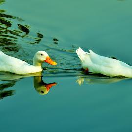 The Follower by Saikat Kundu - Animals Other ( water, orange, reflection, white, ducks, close up, pond,  )