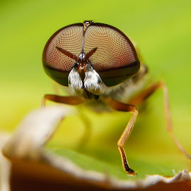 Horsefly Face to Face by Muhd Shahjeehan - Animals Insects & Spiders