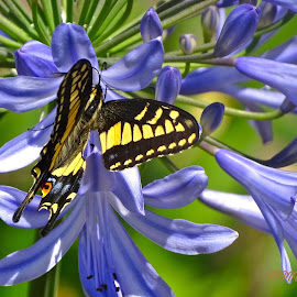 Swallowtail butterfly by Marilyn Bernstein - Animals Insects & Spiders ( butterfly, butterflies, swallowtail butterfly, insects, swallowtail )