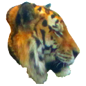 Tiger Profile Sticker icon