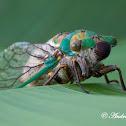 Green Whizzer Cicada