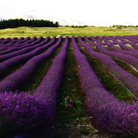 Lavender Fields by Kerri Back - Landscapes Prairies, Meadows & Fields ( lavender )