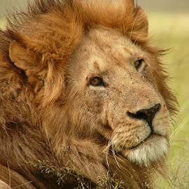 Lion by Janine Kain - Animals Lions, Tigers & Big Cats ( lion, simba, leo, big-cat, wildlife, kenya, masai-mara, africa, feline, king )