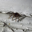 sheet weaver spider
