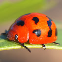 Spotted Orange Leaf Beetle