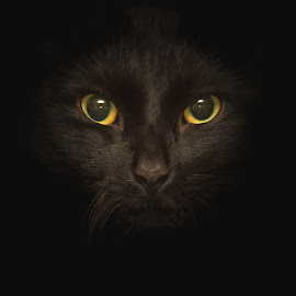 Noah by Paul Barson - Animals - Cats Portraits ( cat, low key, noah, dark, whiskers, fur, yellow, feline, black, portrait, eyes, animal, #GARYFONGPETS, #SHOWUSYOURPETS )