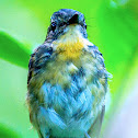 Snowy-browed Flycatcher