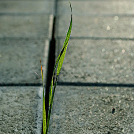 sidewalk by Fjola Thorvaldsdottir - Nature Up Close Leaves & Grasses ( grass, green, grey, square, sidewalk )