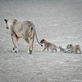 Lioness and Cubs by Charel Schreuder - Animals Lions, Tigers & Big Cats ( photo sales, lioness, south africa, nossob, cubs, googlephotographer, kgalagadi transfrontier park, kalahari, charel schreuder )
