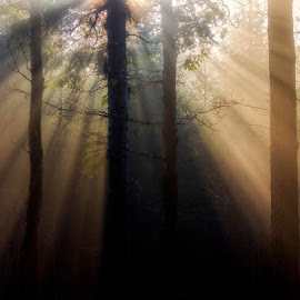 Sunrays by Ruda Stančík - Landscapes Forests ( fog, sunrays, forest, morning, rays, mist,  )