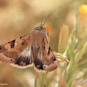 Eastern Bordered Straw Moth