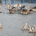 Spot-billed Pelican or Grey Pelican