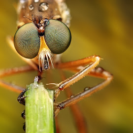 by Ondrej Pakan - Animals Insects & Spiders ( macro, fly, bug, insect, robberfly )