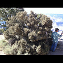 curl-leaf mountain mahogany