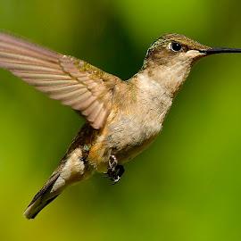 <> by Roy Walter - Animals Birds ( flight, animals, wings, wildlife, birds, hummingbirds )