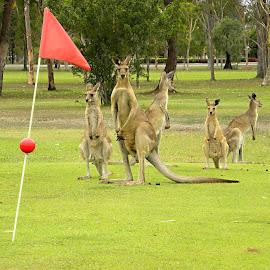 Too Many Golf Players by Marcel Cintalan - Sports & Fitness Golf ( golf players, kangaroo, australia, golf,  )