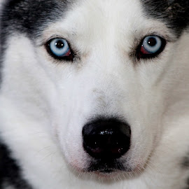 Smores' by Anna Varwig - Animals - Dogs Portraits ( female. best friend, siberian husky, blue eyes, husky )