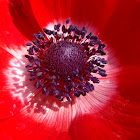 Anemona, Anemone coronaria