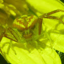 Unknown Crab Spider