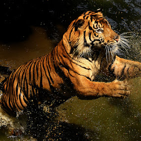 Rano - The Sumateran Tiger Pxt.jpg