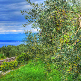 Olive by Dalibor Jud - Nature Up Close Gardens & Produce ( malinska, croatia, three, sea, utla, krk, garden, olives, olive )