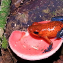 Blue-Jeans Poison Dart Frog and fungi