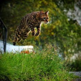 Jump! by Jane Bjerkli - Animals - Cats Playing