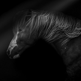 Atli by Erik Kunddahl - Animals Horses ( stallion, iceland, equine, riding, horse, nikon )